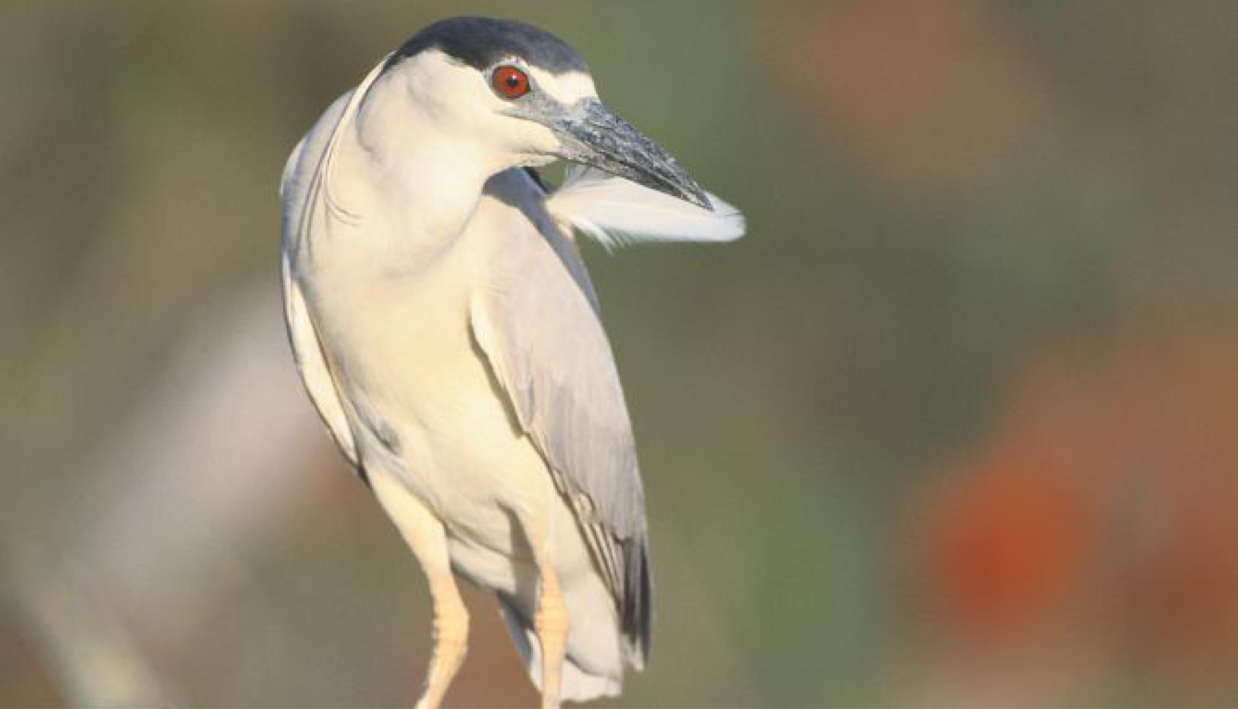 Faune Biodiversité Grand Site Salagou Bihoreau gris © Roger Le Guen