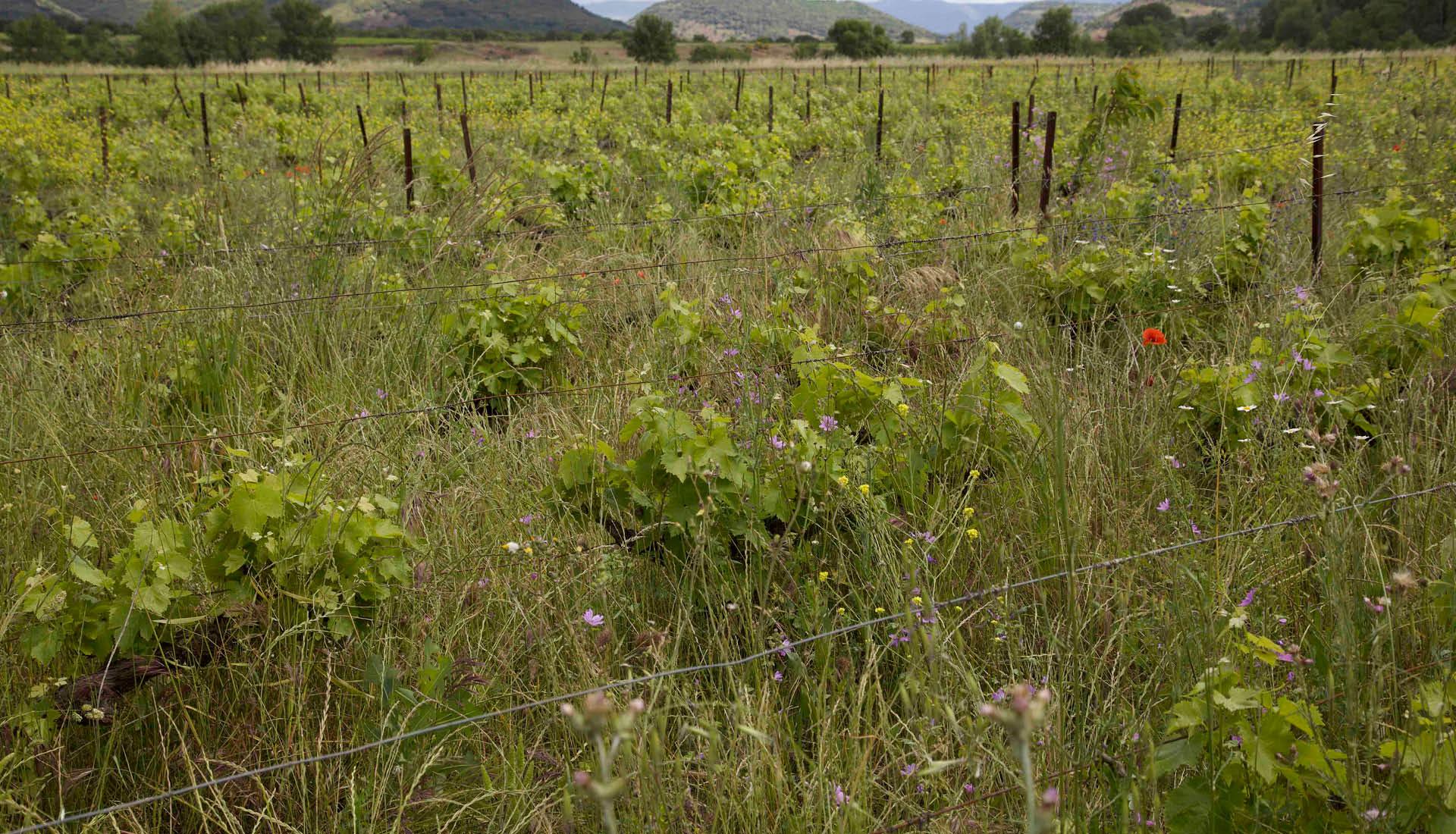 Cultures viticoles Grand Site Salagou © L.Micola 2