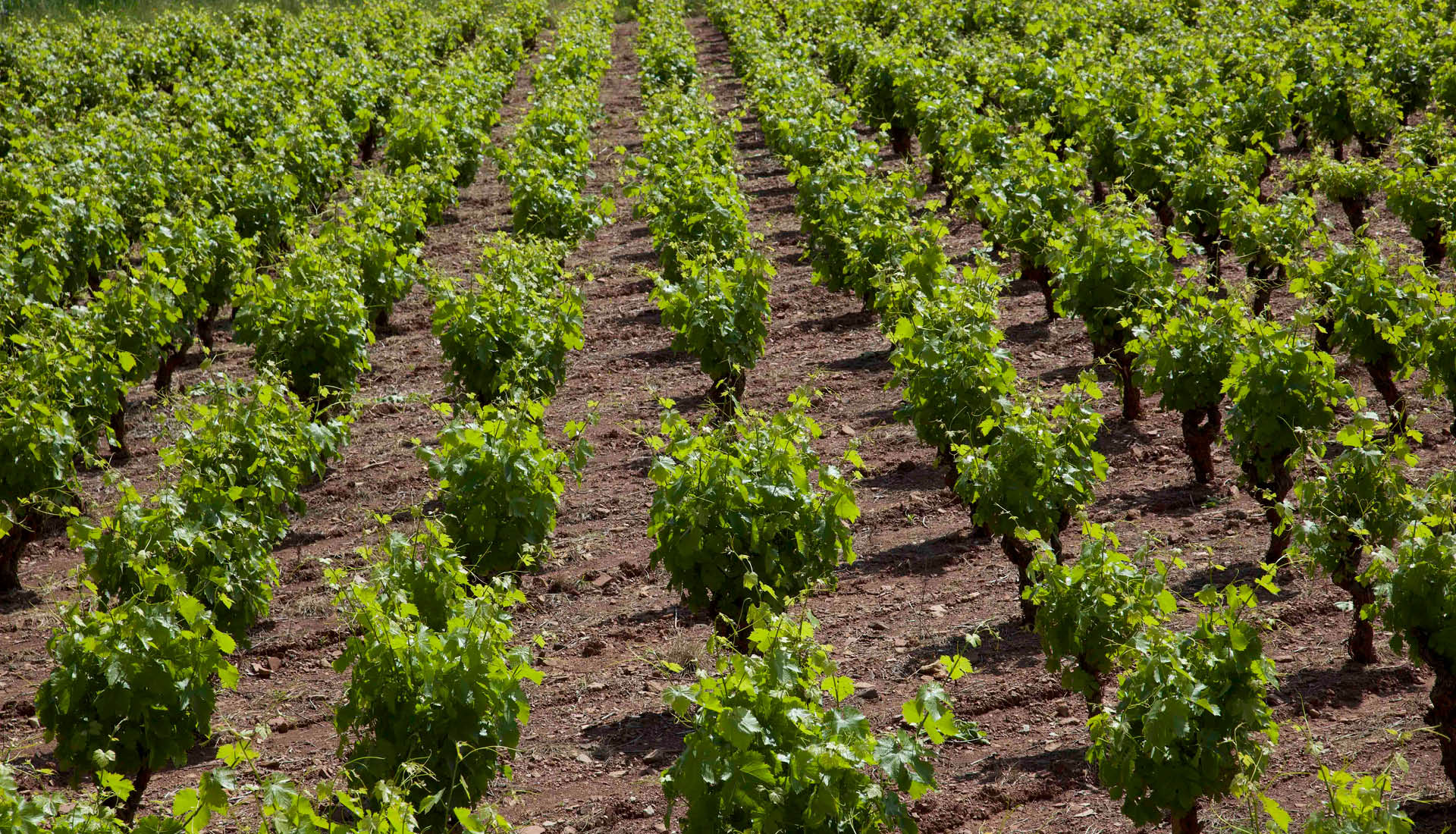 Cultures viticoles Grand Site Salagou © L.Micola 4