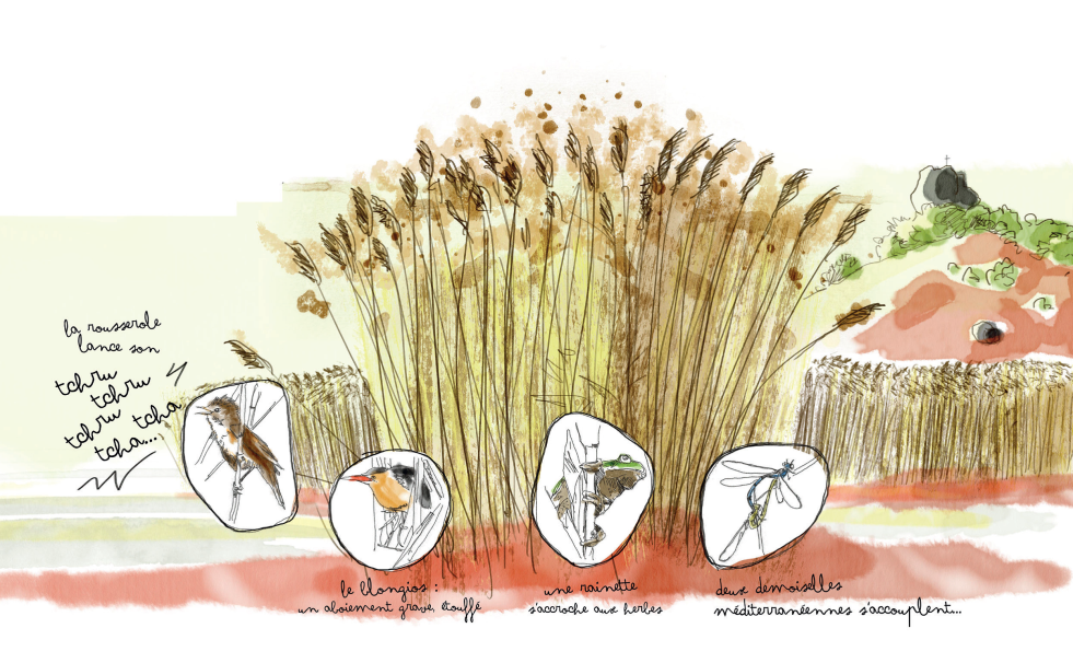 Dessin roselière Hugo Quin SMGS la roseliere abrite des oiseaux discrets