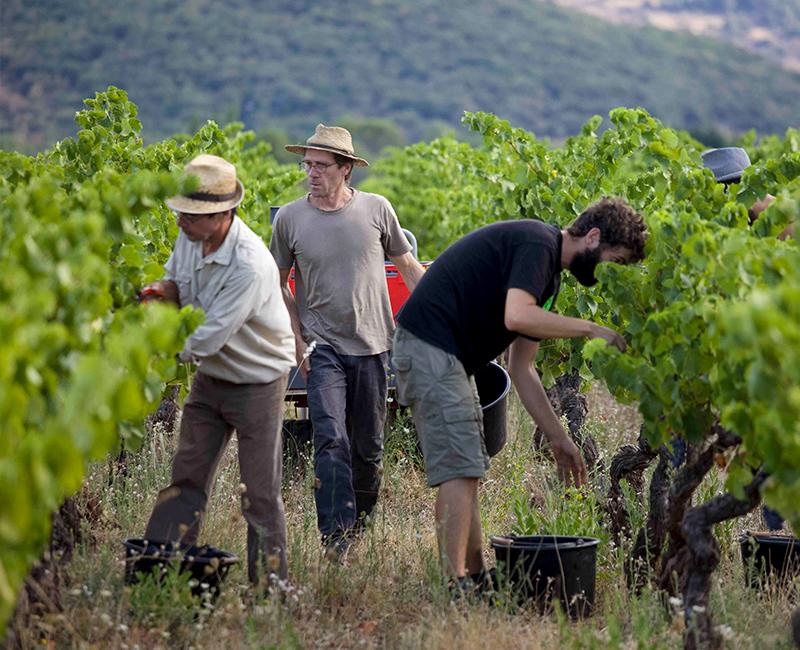 François Aubry dans ses vignes à Brenas © L.Micola