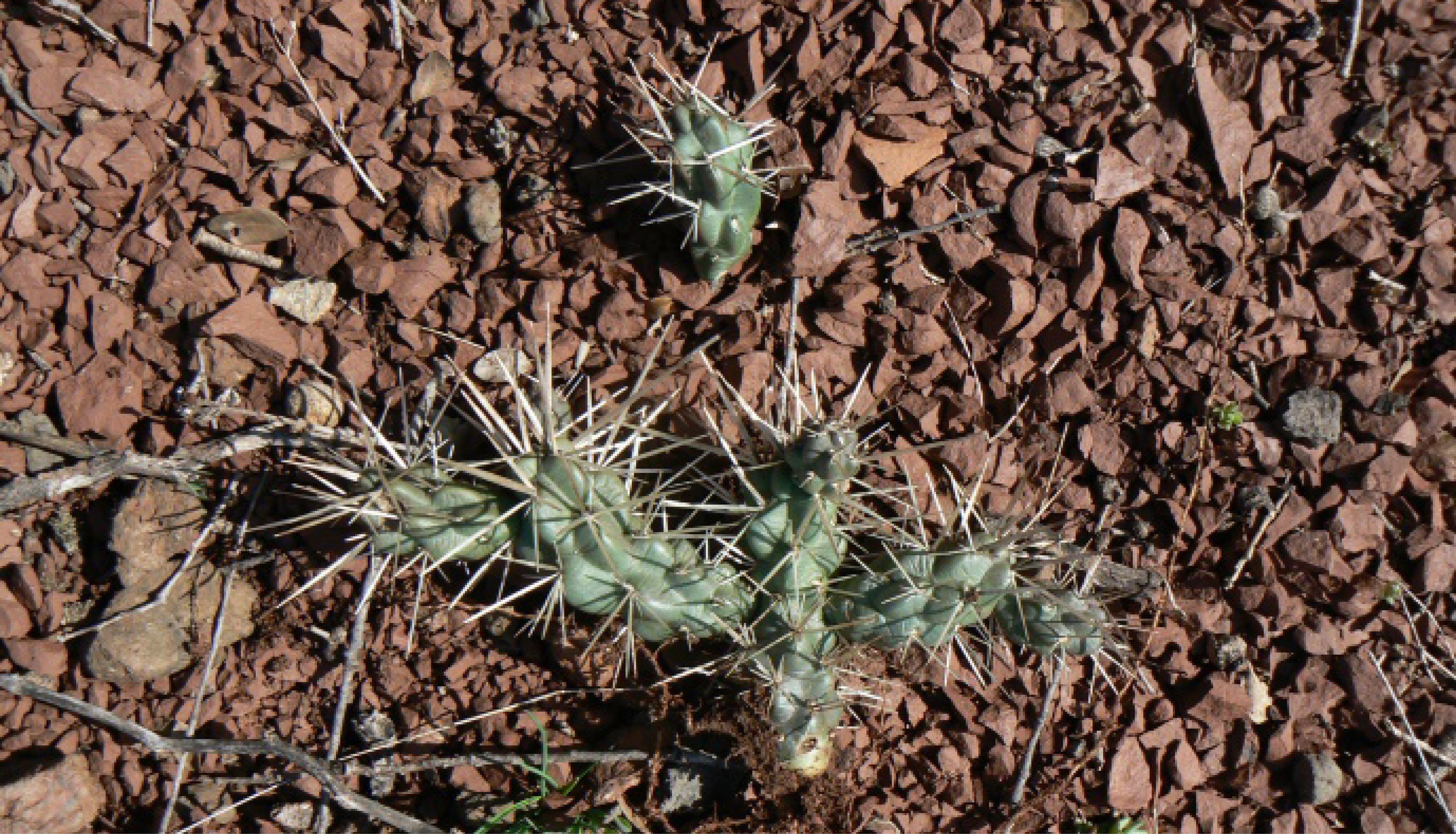 Oponce plantes envahissantes