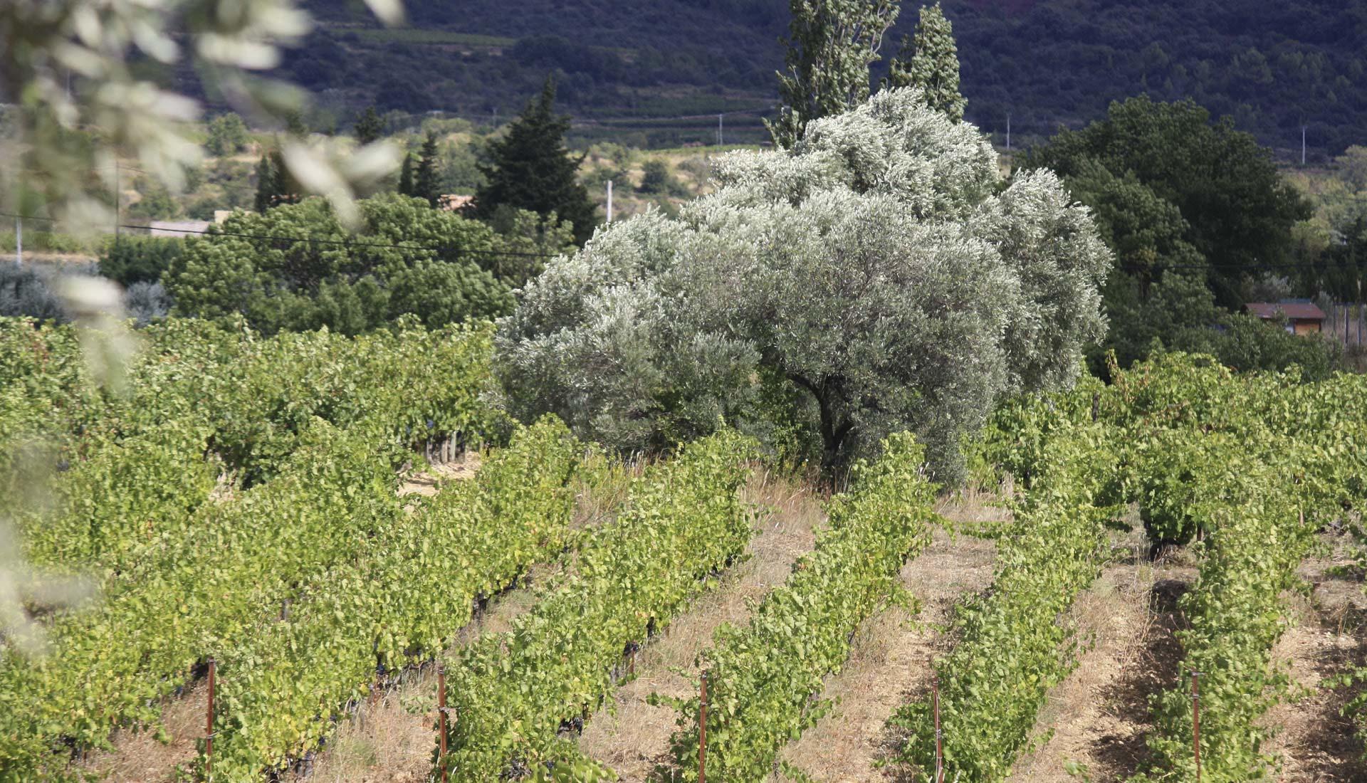 Viticulture dans le Grand Site du Salagou ©SMGS
